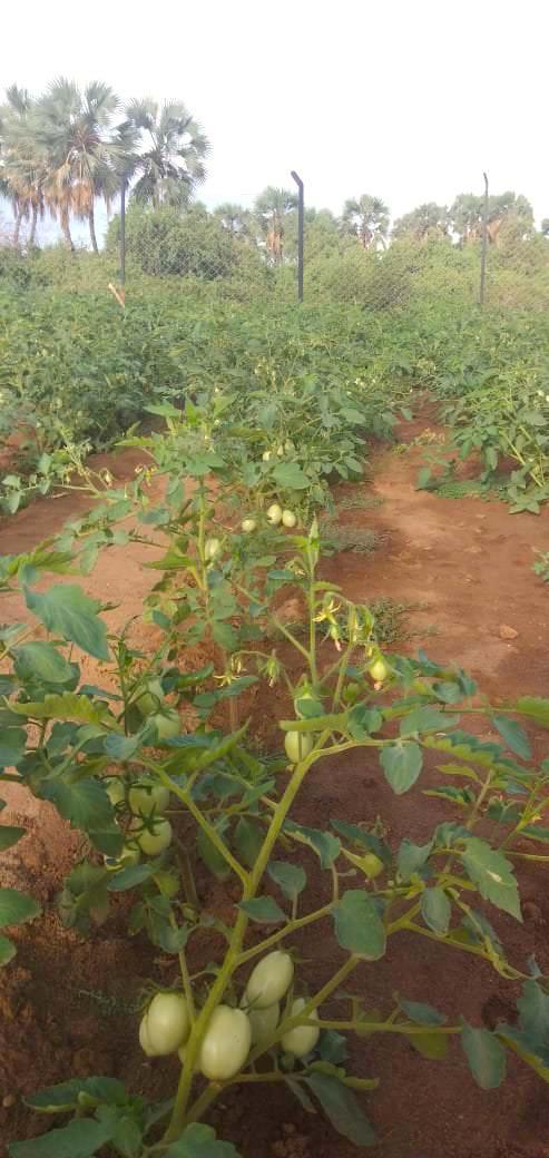 Tomatoes grown with RDI in Kakuma