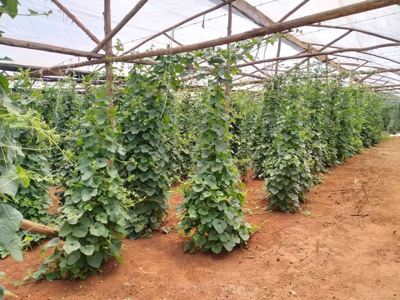 Hydroponics Africa - melons
